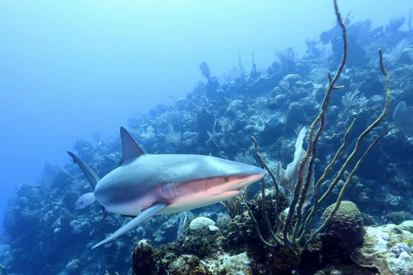 Diving with Reef Sharks in Grand Cayman